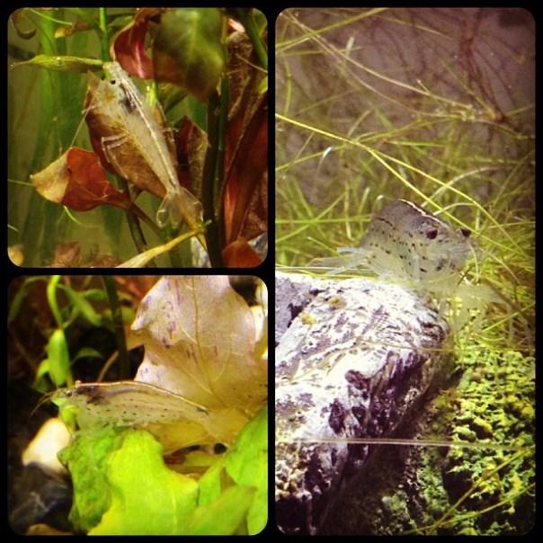 Amazonas #Aquarium day 10 - #Yamato #Shrimps on duty! - from Instagram