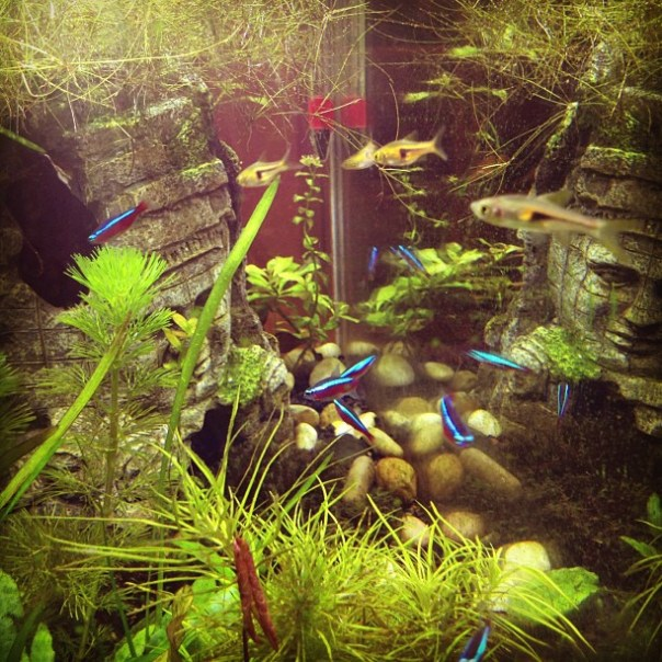 New member Espei Rasboras and Cardinal Tetras in the Amazonas Aquarium. - from Instagram