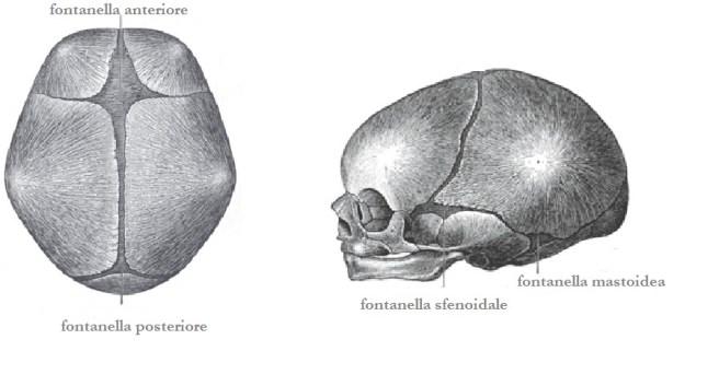 fontanelle craniche neonato