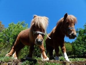 pet therapy pony