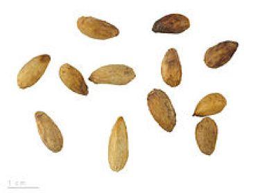 frutti neem