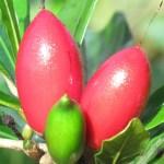 Miracle fruit o miracle berry, cos'è e quali sono le sue proprietà