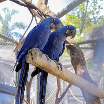 Araras-azuis do BioParque do Rio