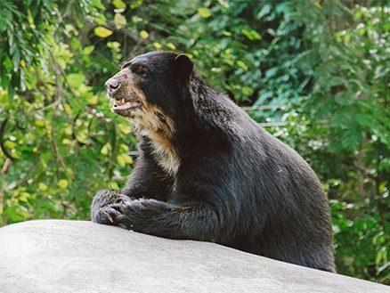 Urso-de-óculos sobre uma pedra no BioParque do Rio