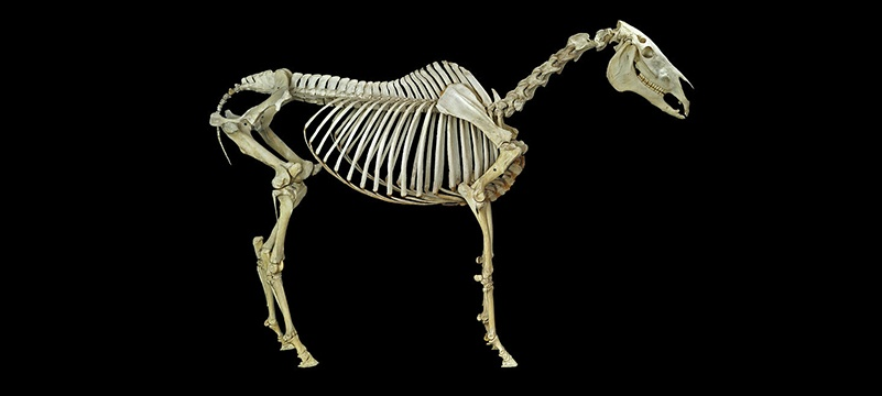 Bone Remodeling in Horses by BioStar US