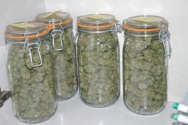 Tutos Rcolte Et Schage Du Cannabis