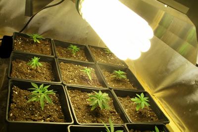 Tutos Culture De Cannabis Lampes Eco Basse Consommation