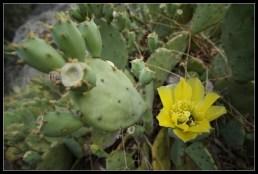 Kaktusi u cvatu