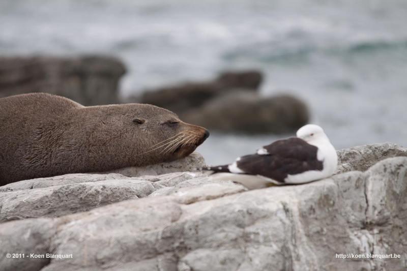 Fur Seal & Seagull