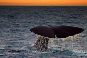 This sperm whale greeted us on a morning, while I was on a boat east of New Zealand