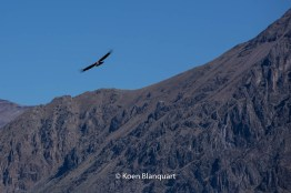 A condor flies over the Andes in Peru