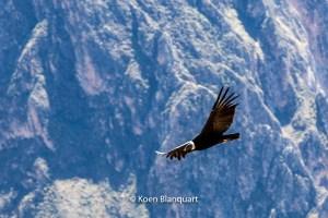 A condor flies over the Andes, Peru