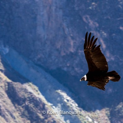 This condor flies over the Colca RIver, near Cabanaconde - Peru