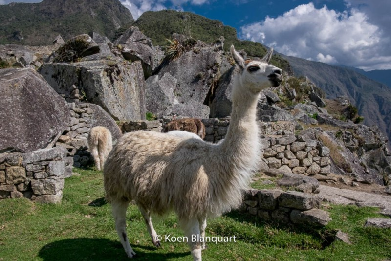 Llama on Machu Picchu (Peru)