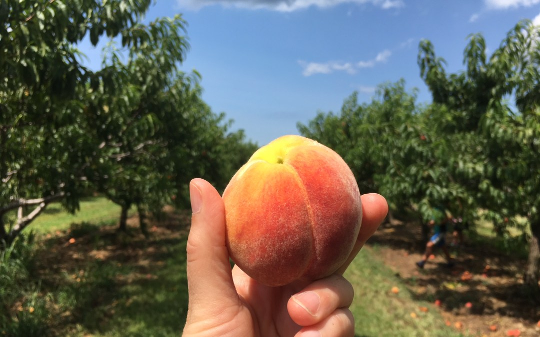 PEACH PICKING WITH KIDS IN TOW