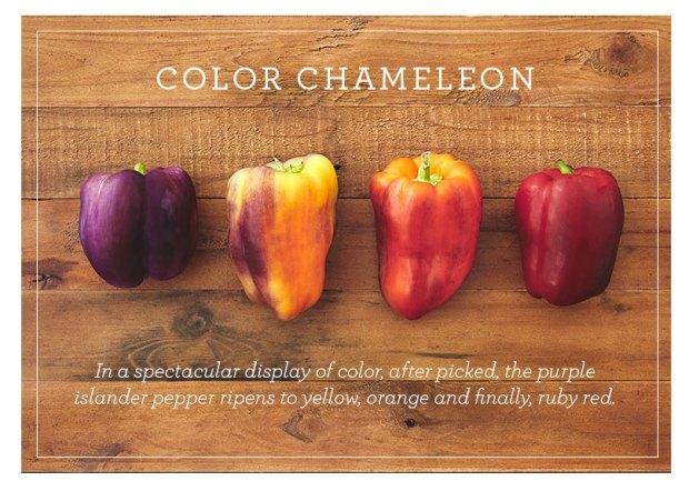 The Multi-Colored Islander Pepper