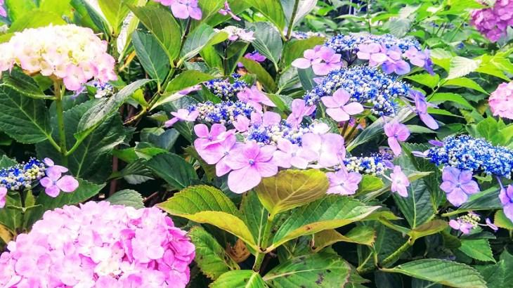 白山神社 紫陽花祭り2019