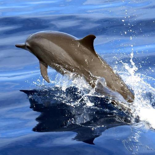 Spinner Dolphin | Photo: Jen Craighill