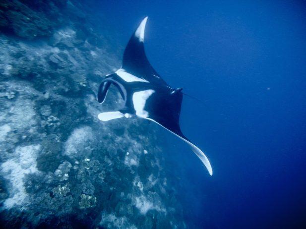 Oceanic manta!