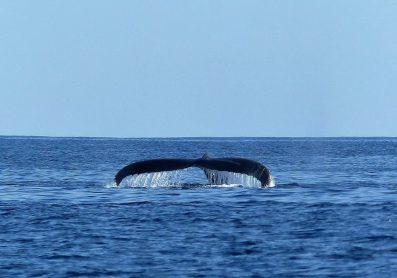 A humpback whale surfaces near Andavadoaka