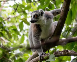 Ring-tailed lemur | Ben Honey