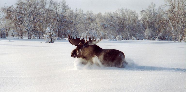 Kamchatka moose winter hunting