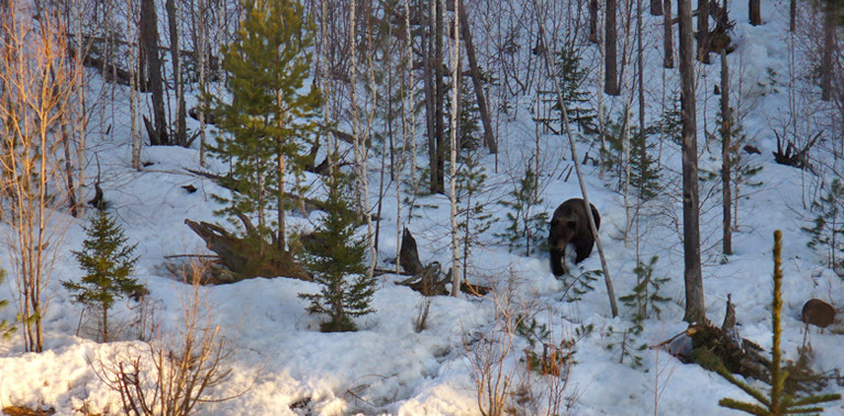 Siberian brown bear coming to the bait