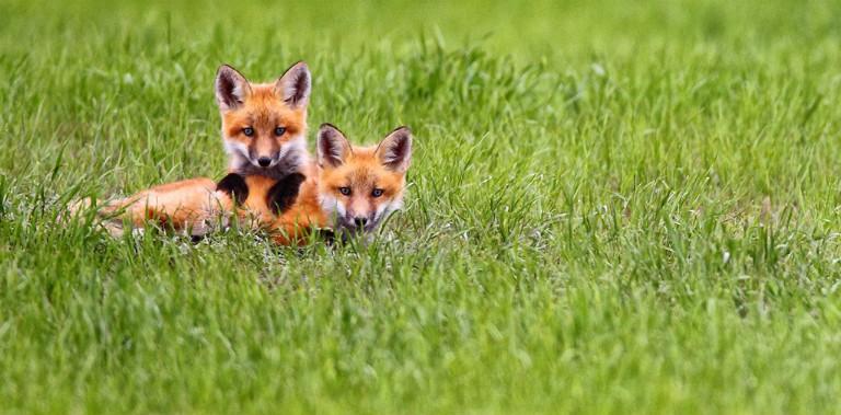Fox Wildlife Viewing