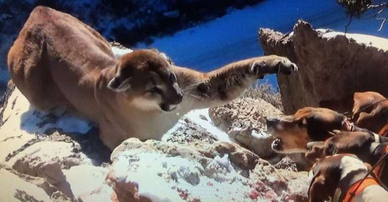 cougar_houndsandcat_newmexicoprofessional