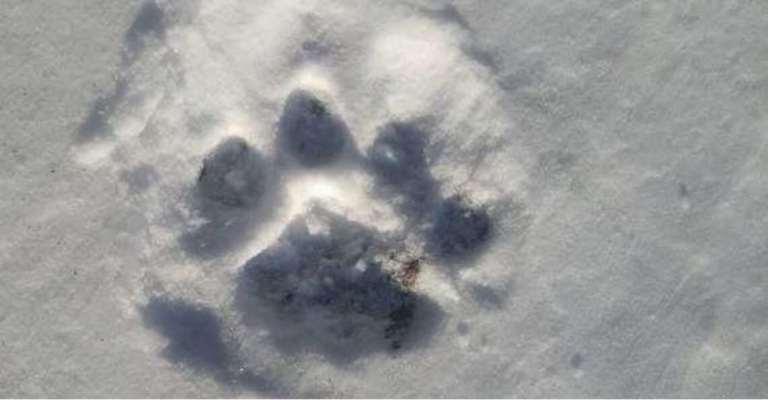 cougar_track