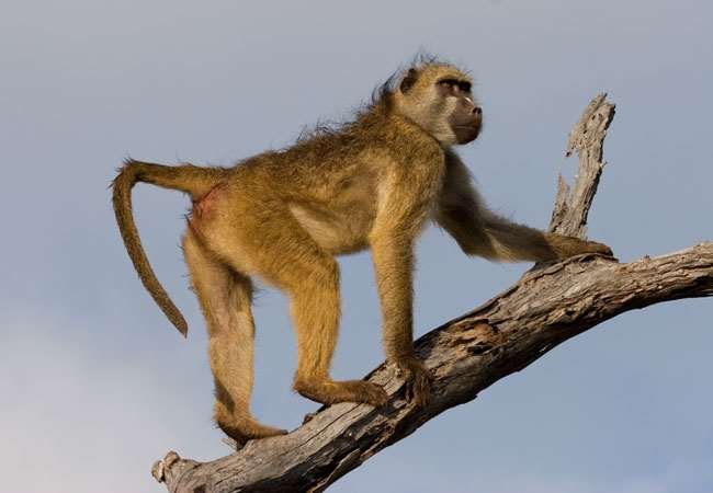 Baboon meat is usually inedible but some eat even that
