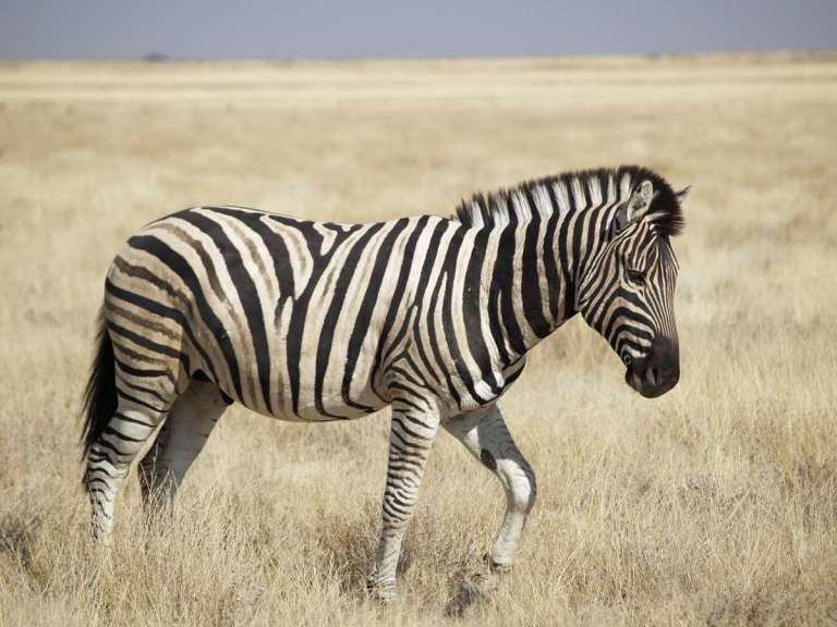 Zebra is a delicious animal