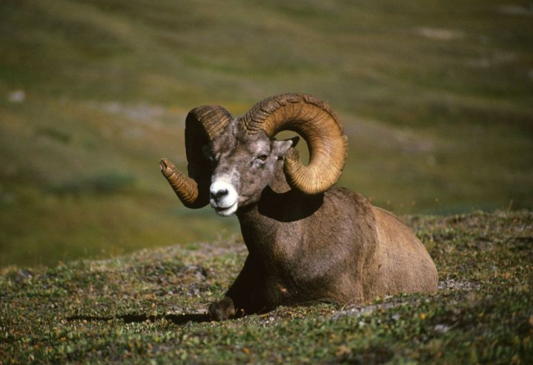 A bighorn ram resting on a mountain side