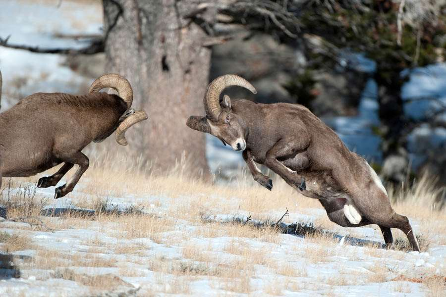 Two rams fighting for dominance