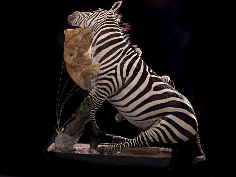A lion and zebra scene mount