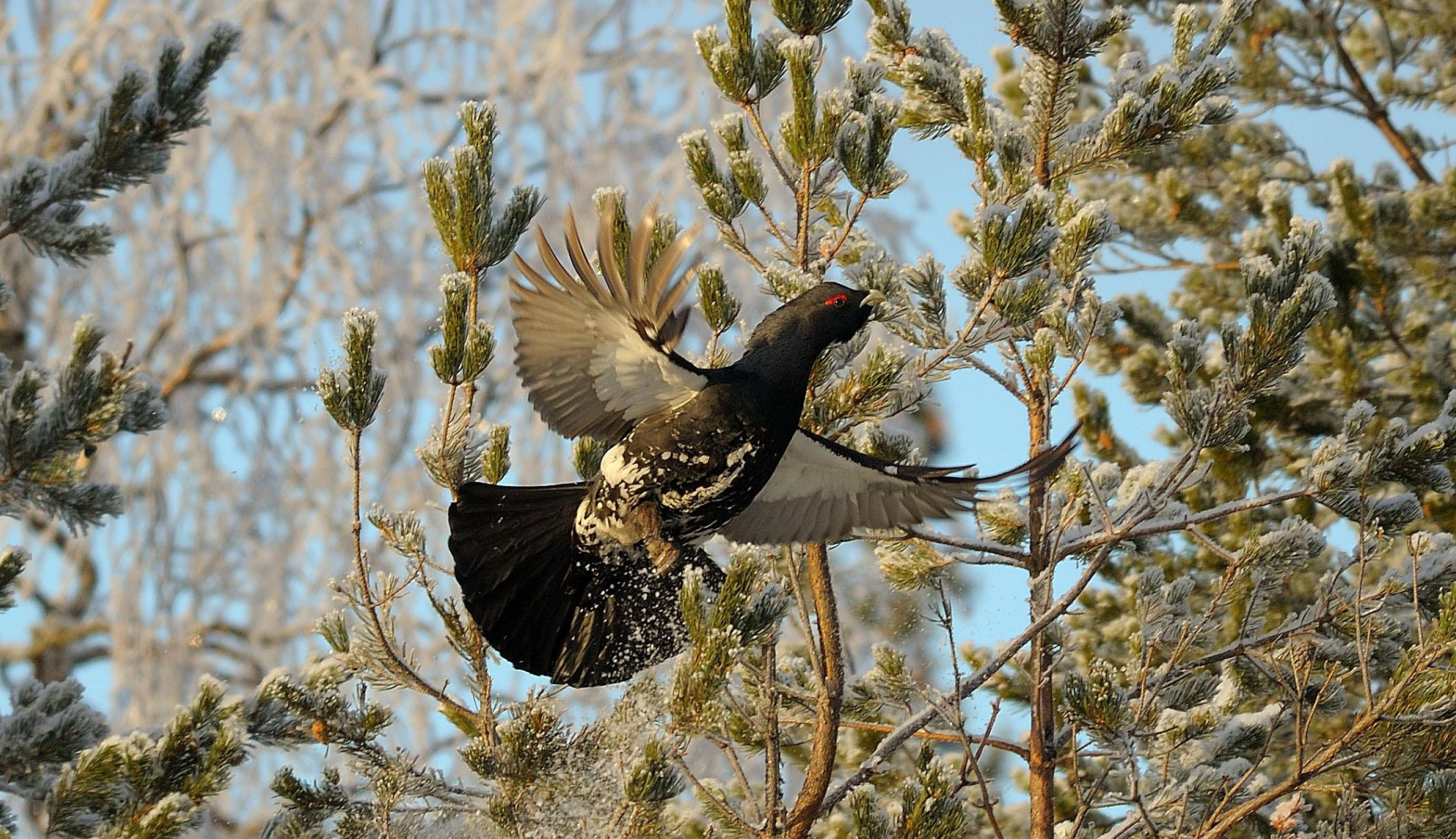 Capercaillie cock arrives at the lek