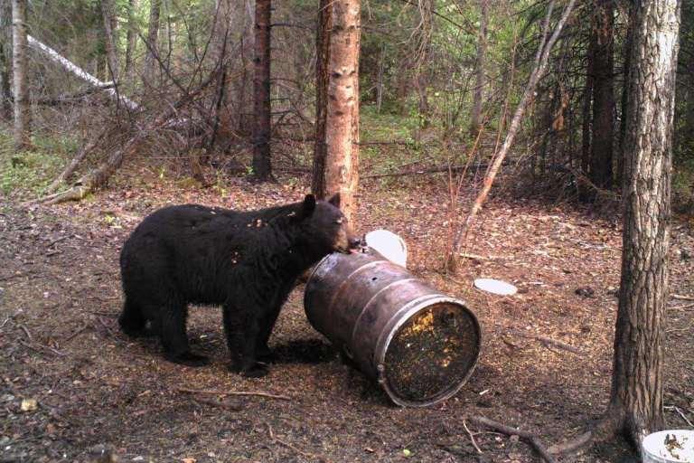 black bear at a barrel-based bait site