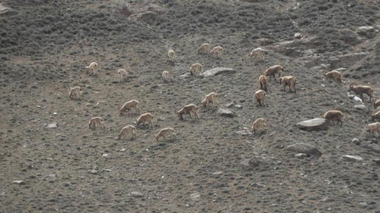 A herd of Ibex