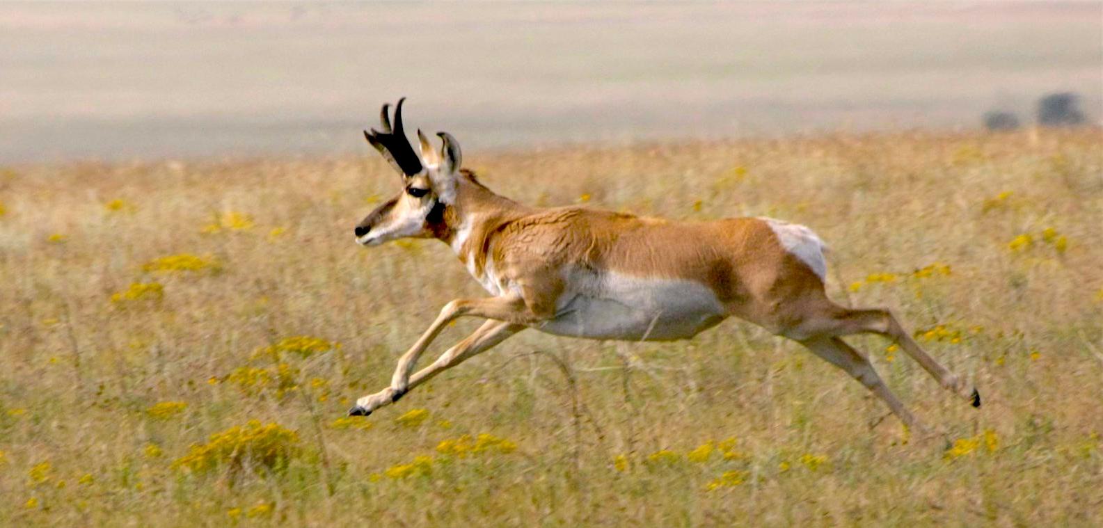 A pronghorn antelope running