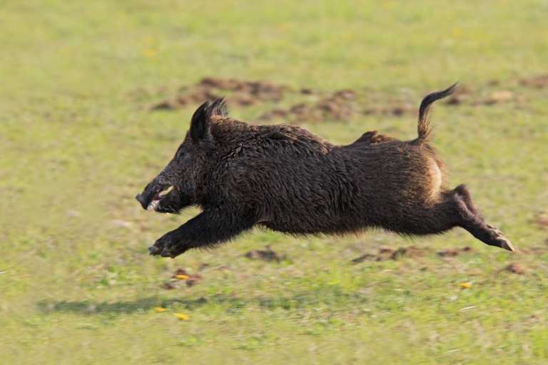 A running boar is a difficult target