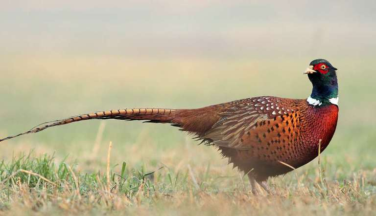 A cock ringneck pheasant.