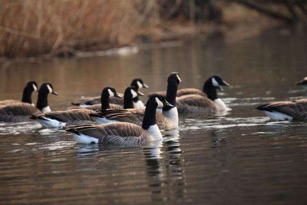 Swimming Canada geese during resident season