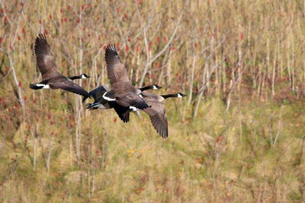Four Canada geese flying