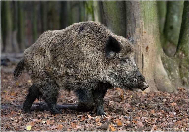 A good trophy mature wild boar