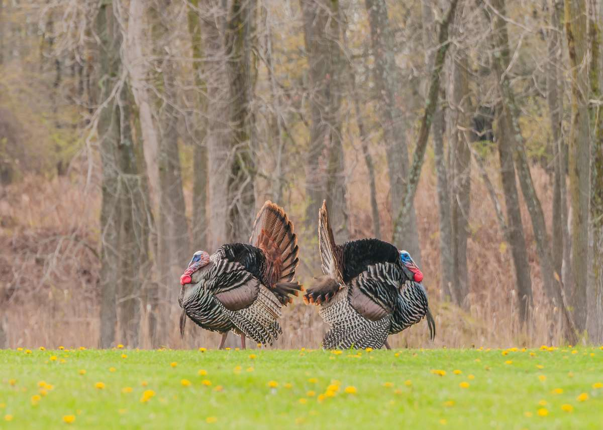 Turkey: All about All-American Game Bird