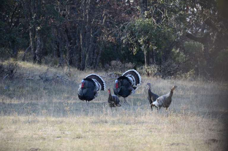 A flock of Gould's turkeys