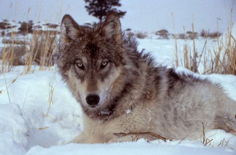 A wolf hunt is a trophy hunt