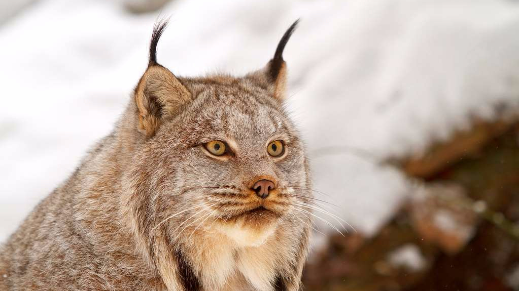 Canada Lynx in full winter fur