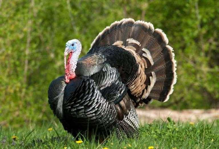 a wild turkey gobbler
