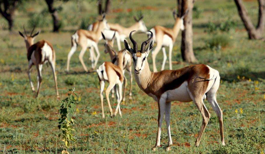 a small herd of springbok